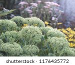 light green bud of sedum ... | Shutterstock . vector #1176435772