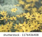 yellow star shaped flowers of... | Shutterstock . vector #1176436408