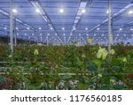 large greenhouse with roses... | Shutterstock . vector #1176560185