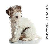 Fox Terrier Puppy  3 Months Old ...