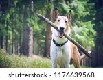 smooth collie dog playing with... | Shutterstock . vector #1176639568