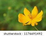 yellow cosmos or cosmos... | Shutterstock . vector #1176691492