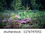 blooming heather in forest with ... | Shutterstock . vector #1176747052
