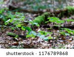 old tree  covered with moss... | Shutterstock . vector #1176789868