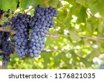 Ripe Dark Grapes For Wine On A...