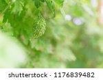 wild bitter gourd  bitter... | Shutterstock . vector #1176839482