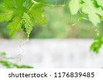 wild bitter gourd  bitter... | Shutterstock . vector #1176839485