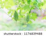 wild bitter gourd  bitter... | Shutterstock . vector #1176839488