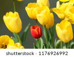 yellow and red tulips | Shutterstock . vector #1176926992