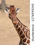 reticulated giraffe  giraffa... | Shutterstock . vector #1176959245