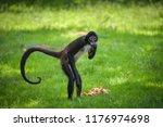 Geoffroy's Spider Monkey Eatin...