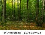 beech forest. beech is a... | Shutterstock . vector #1176989425