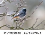 black redstart  male  perching... | Shutterstock . vector #1176989875