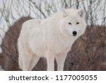 wild alaskan tundra wolf. close ... | Shutterstock . vector #1177005055
