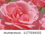 close up of pink rose flower in ... | Shutterstock . vector #1177034332