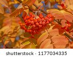 close up of branch of rowan... | Shutterstock . vector #1177034335