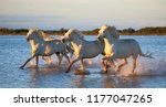 white camargue horses are... | Shutterstock . vector #1177047265