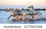 Stock photo white camargue horses are running along the water in a shallow lagoon with beautiful evening light 1177047268