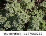 Small photo of The common horehound, a medicinal plant, also called medicinal herb, The common horehound (scientific name of the Horehound vulgare) is a small officinal herbaceous plant, as well as robbio or mentast