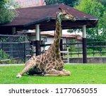 giraffe favourite of children... | Shutterstock . vector #1177065055
