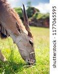 herbivore grazing grass | Shutterstock . vector #1177065595