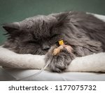 Stock photo sick cat under the dropper 1177075732