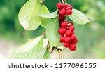 branches of red schisandra....   Shutterstock . vector #1177096555