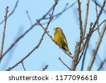 european greenfinch  carduelis... | Shutterstock . vector #1177096618