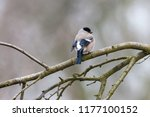european or common bullfinch ... | Shutterstock . vector #1177100152