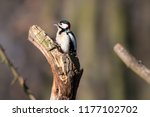great spotted woodpecker ... | Shutterstock . vector #1177102702