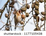 european goldfinch  carduelis... | Shutterstock . vector #1177105438