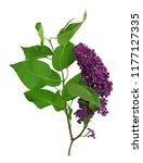 lilac flowers bunch on a white... | Shutterstock . vector #1177127335