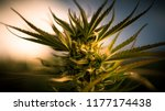 Flowering Cannabis Plant Of Th...