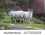 Two Fluffy Lambs In Yorkshire Uk