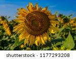 Sunflower Almost End Life - Fine Art prints