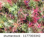 tillandsia or air plant which... | Shutterstock . vector #1177303342