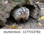 badger peeking out of den | Shutterstock . vector #1177313782