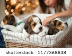 Stock photo little girl with puppies during christmas eve 1177368838