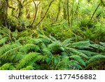 dense thicket in the temperate...   Shutterstock . vector #1177456882