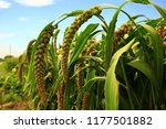 mature millet in the farmland | Shutterstock . vector #1177501882