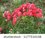 red rose flowers on the rose... | Shutterstock . vector #1177510138