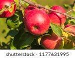 Growing Apples On Apple Tree In ...