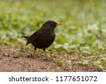 true thrush sitting on ground... | Shutterstock . vector #1177651072