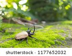 beetles   insect   the five... | Shutterstock . vector #1177652032