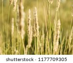 golden hays in the autumn... | Shutterstock . vector #1177709305