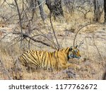 wild bengal tiger  panthera... | Shutterstock . vector #1177762672