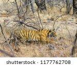 wild bengal tiger  panthera... | Shutterstock . vector #1177762708