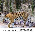 wild bengal tiger  panthera... | Shutterstock . vector #1177762732