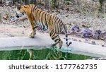 wild bengal tiger  panthera... | Shutterstock . vector #1177762735