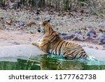 wild bengal tiger  panthera... | Shutterstock . vector #1177762738